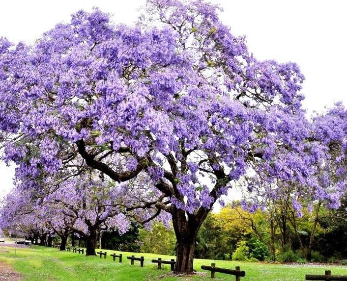 Árbol de Paulownia tomentosa
